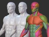 modelo 3D del torso de un hombre